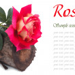 Stock Photo: Beautiful rose on tree stump isolated on white background