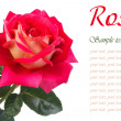 Stock Photo: Lovely delicate pink rose close up isolated on white background