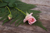 Bud delicate pink roses and green ferns on old wooden — Stock Photo