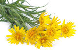 Bouquet of yellow flowers salsifyс on white background — Stock Photo