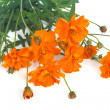 Orange marigold flowers isolated on white background — Stock Photo