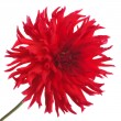 Stock Photo: Big beautiful red dahlia flower isolated on white background