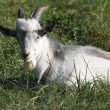 Gray goat resting on the green grass — Stock Photo
