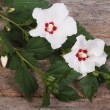 Flowering branch of hibiscus with white flowers on old wooden — Stock Photo