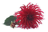 Large dark red dahlia with a bud isolated on white background — Stock Photo