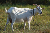 White goat tethered in a pasture on a green grass — Stock Photo