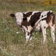 Stok fotoğraf: Calf cows on green pasture against white wildflowers