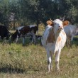 White cow mooing in the pasture — Stock Photo