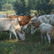 Herd of cows on the pasture — Stock Photo
