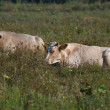 Two young cows lie on a summer pasture — Stock Photo