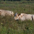 Two young cows lie on a summer pasture — Stock Photo #30404549