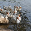Domestic geese swimming on the river — Stock Photo