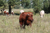 Brown cow on a pasture — Stock Photo