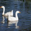 Two white geese swimming on the water — Stock Photo
