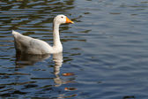 Floating down the river female white goose — Stock Photo