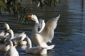 White geese flapped their wings in the water — Stock Photo