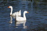 Two white geese swimming on the water — ストック写真