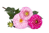 Three pink dahlias with buds isolated on white background — Stock Photo