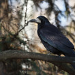 Black crow sitting on a tree branch in a forest — Stock Photo