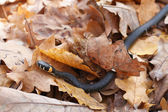Grass snake in the autumn leaves — Stock Photo