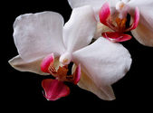 Flowers white orchid isolated on black background. — Stock Photo