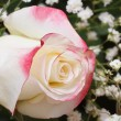 Stock Photo: White rose with pink edges of petals with gypsophila