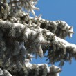 High spruce in snow against a blue sky. — Stock Photo