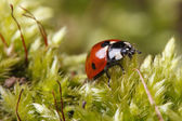 Ladybug macro on a fluffy moss spring.  — Stock Photo