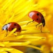 Two ladybugs on the petals of a dandelion — Stock Photo #45196233
