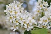 Blooming fragrant bird cherry tree closeup  — Stock Photo