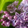 Sprig of purple lilac blooming with flowers and buds close up — Stock Photo