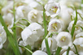 Flowers lily of the valley closeup horizontal — Stock Photo