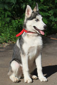 A four-month female husky puppy — Stockfoto