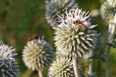 Inflorescence Echinops horizontal close up — Fotografia Stock