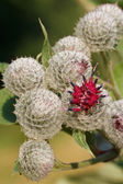 Burdock flowers outdoors vertical macro — Stock Photo
