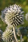Inflorescence Echinops closeup vertical — Stock Photo