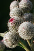 Burdock vertical macro on dark background — Stock Photo