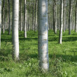 Woodland Poplars — Stock Photo
