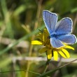 Stock Photo: Common Blue butterfly - polyommatus icarus
