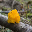 Tremella mesenterica - Stock Photo