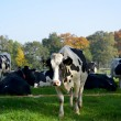 Field with cow — Stock Photo #13902829