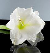 White amaryllis — Stock Photo