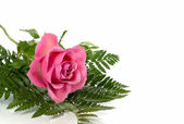 Pink rose and green leaves — Stock Photo