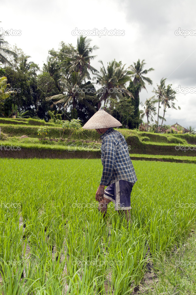 Woman working in rice fields on Bali  Stock Photo #16637045