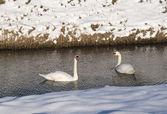Two swan in winter landscape — Stock Photo