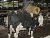 Krowa z automatu zarysowania — Zdjęcie stockowe