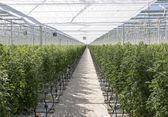 Greenhouse with tomatos — Stock Photo