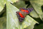 Scarlet Peacock or Anartia amathea — Stock Photo