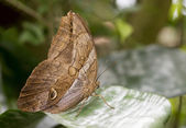 morphoo butterfly on green leaves — Stock Photo