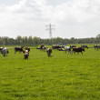 Cows red and black in dutch landscape — Stock Photo #25177247